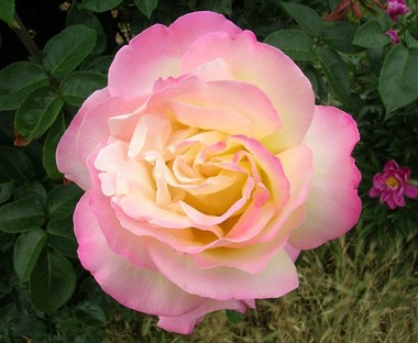 049this_peace_rose_is_also_irene_de