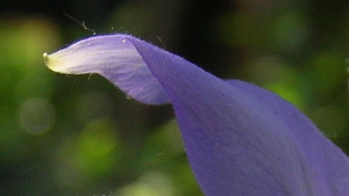 Columbine petal