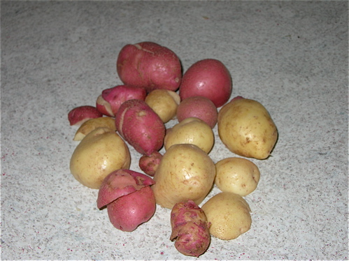 Potato harvest '08