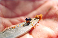 Single pine beetle:NYT
