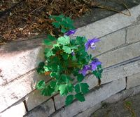 Sally's columbine in wall