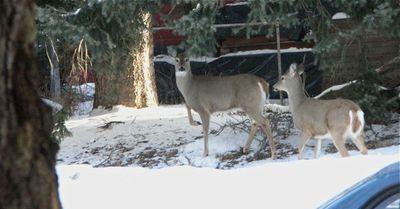 Deer across street