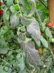 Purple tomato leaf disorder