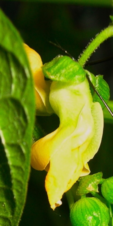 Bean_blossom_yellow