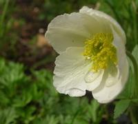 C_white_anemone