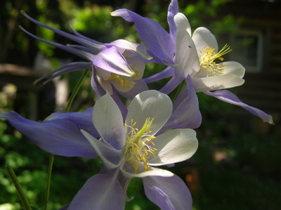 Columbine_blue_trio