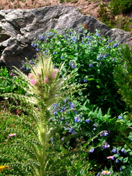 Everts_thistle_and_bluebells_5