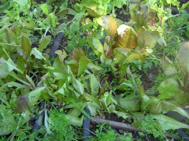 Lettuce_after_hail_4_2
