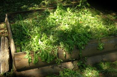 Lettuce_back_yard_after_hail_2