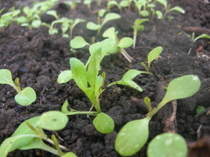 Lettuce_sprouts3_9