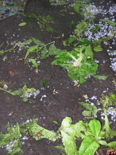 Marsinko_lettuce_after_hail_2