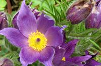 Pasqueflower_2