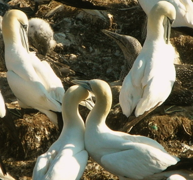Preening_and_cooing