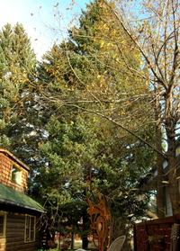 S_spruce_4_6